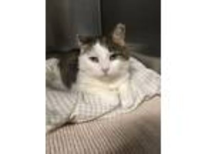 Adopt Sasha a Domestic Short Hair, Tabby