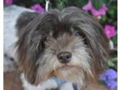 Adopt Serena a Brown/Chocolate - with White Havanese / Mixed dog in Atlanta