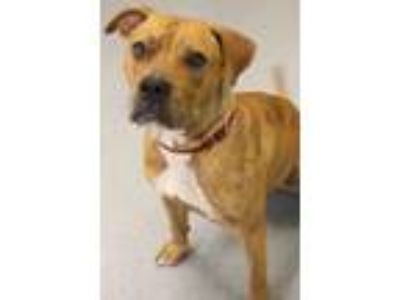 Adopt Tigress a American Staffordshire Terrier, Boxer