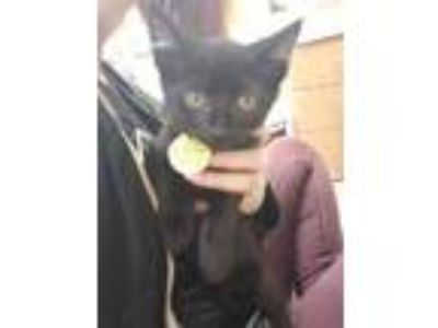 Adopt Dipsy a All Black Domestic Shorthair / Domestic Shorthair / Mixed cat in