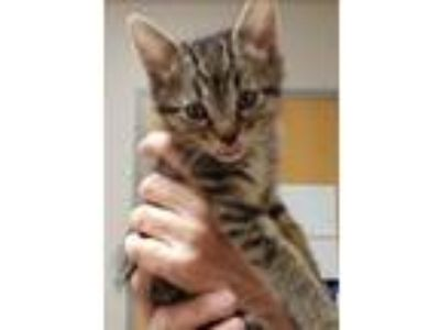 Adopt Miley a Tan or Fawn Tabby Domestic Shorthair (short coat) cat in Huntley