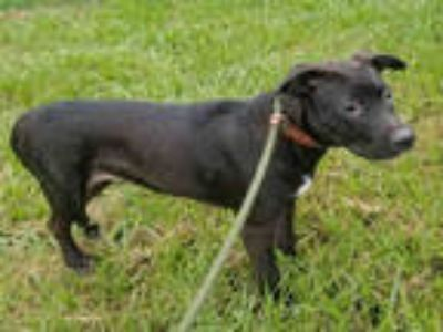 Adopt TREY a Black - with White Labrador Retriever / Mixed dog in Gainesville