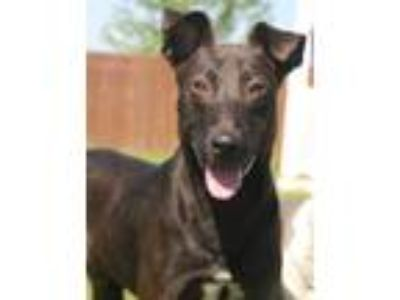 Adopt Dyno a Belgian Malinois / Terrier (Unknown Type, Medium) / Mixed dog in