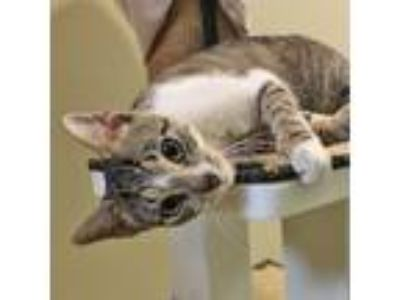 Adopt Priscilla a Domestic Short Hair