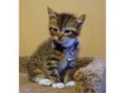 Adopt Winsdor a Brown Tabby Domestic Shorthair / Mixed (short coat) cat in North