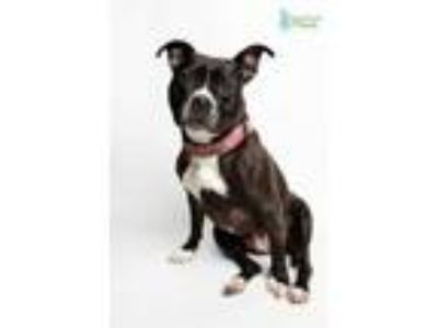 Adopt Amelie a Black American Pit Bull Terrier / Mixed dog in New Orleans
