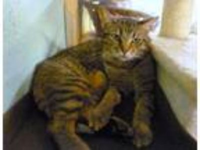 Adopt Roy a Domestic Short Hair