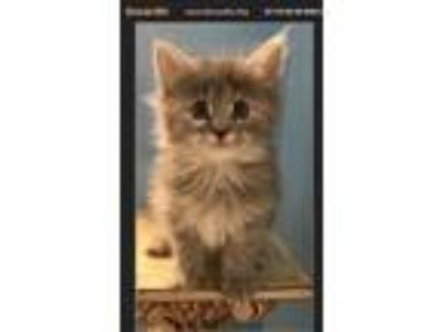 Adopt Cookie a Gray or Blue (Mostly) Maine Coon (long coat) cat in