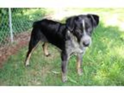 Adopt Chase a Merle Australian Cattle Dog / Australian Shepherd / Mixed dog in