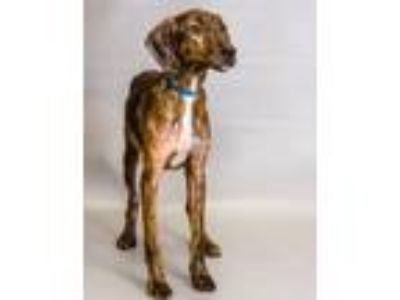 Adopt 42180827 a Hound, Mixed Breed