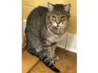 Adopt Sir Phillip a Gray, Blue or Silver Tabby Domestic Shorthair (short coat)