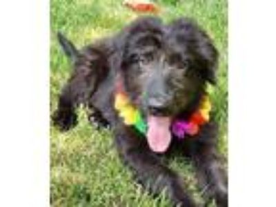 Adopt Petey a Spaniel, Retriever