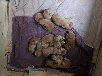Golden Retriever PUPPY FOR SALE ADN-104299 - Golden Retriever puppies