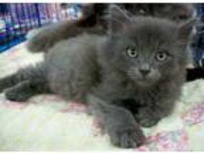 Adopt Cashmere a Gray, Blue or Silver Tabby Domestic Mediumhair (medium coat)