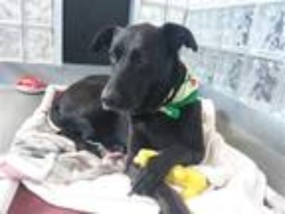 Adopt Rocky a Labrador Retriever / Mixed dog in Pittsburgh, PA (25430351)