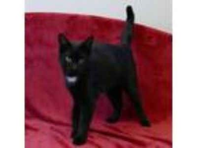 Adopt SANA a All Black Domestic Shorthair / Domestic Shorthair / Mixed cat in