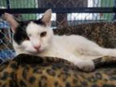 Adopt Mable a Domestic Short Hair