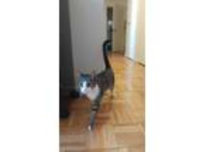 Adopt Stinky a Gray or Blue American Curl / Mixed cat in New York City
