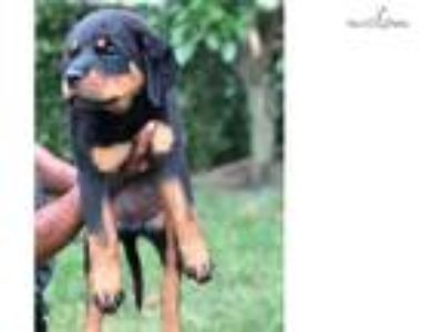 Female AKC German Rottweiler Puppy