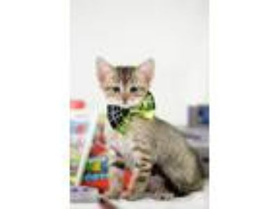 Adopt Yoshi a Brown Tabby Domestic Shorthair / Mixed (short coat) cat in