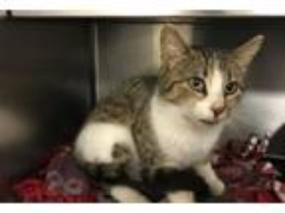 Adopt ELOISE a Domestic Short Hair