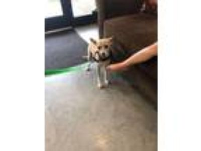 Adopt Nugget a Terrier