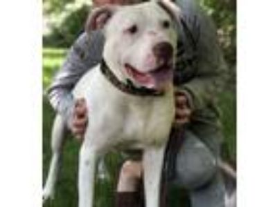 Adopt Popcorn a Pit Bull Terrier