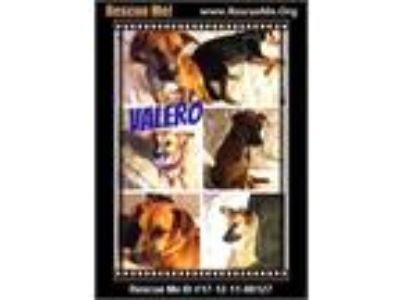 Adopt Valero a Brown/Chocolate - with White German Shepherd Dog / Mixed dog in