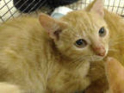 Adopt CARL a Orange or Red Tabby Domestic Shorthair / Mixed (short coat) cat in
