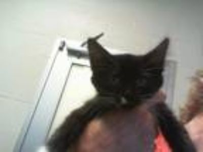 Adopt PEPPER a Domestic Short Hair