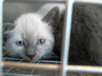 Adopt a White (Mostly) Domestic Shorthair / Mixed (short coat) cat in Plano