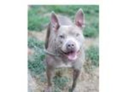 Adopt SADIE. LOVES KIDS and CATS a Pit Bull Terrier