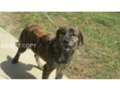 Adopt Austin a Brindle Labrador Retriever / Mixed dog in Rocky Mount