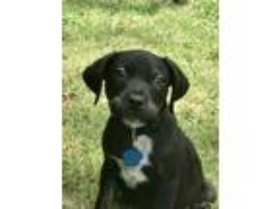 Adopt Cash a Labrador Retriever, Doberman Pinscher