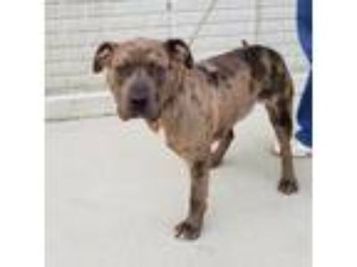 Adopt Crash a Brown/Chocolate American Pit Bull Terrier / Mixed dog in Terre