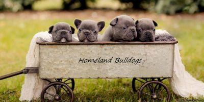 Purebred French Bulldog Puppies For Sale | French Bulldog Breeder