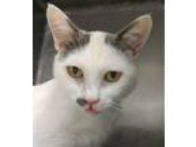 Adopt Mythical a Domestic Short Hair