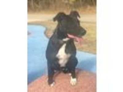 Adopt Daisy a Black - with White Labrador Retriever / Terrier (Unknown Type