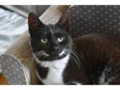 Adopt Dazzler a Black & White or Tuxedo Domestic Shorthair (short coat) cat in