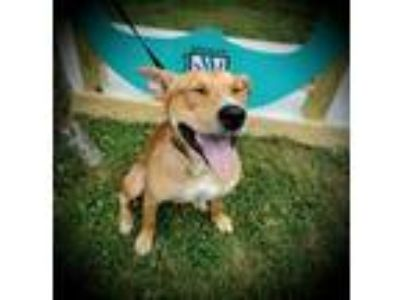 Adopt Colson a Yellow Labrador Retriever