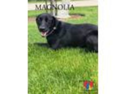 Adopt Magnolia a Black Labrador Retriever / Mixed dog in Grand Island