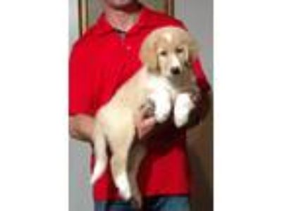 Adopt Maggie a White - with Tan, Yellow or Fawn Golden Retriever / Collie /