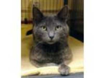 Adopt Gravy (TAS #15) a Gray or Blue Domestic Shorthair / Mixed (short coat) cat