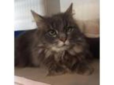 Adopt Sybil a Gray or Blue Domestic Longhair cat in Wilton, NY (25903885)