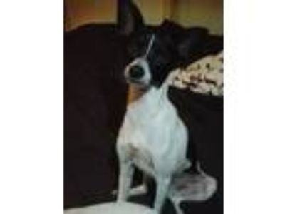 Adopt Bilbo Waggins a White - with Black Rat Terrier / Mixed dog in Zephyrhills