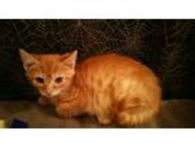 Adopt Peanut Butter a Orange or Red Tabby Domestic Shorthair (short coat) cat in