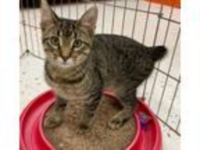 Adopt Snickers -- BOBTAIL KITTEN @ PETCO a Gray, Blue or Silver Tabby American