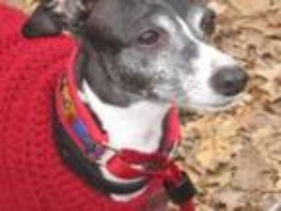 Adopt Italian Greyhound Place a Italian Greyhound