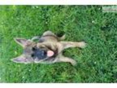 Akc Reg German Shepherd Puppy