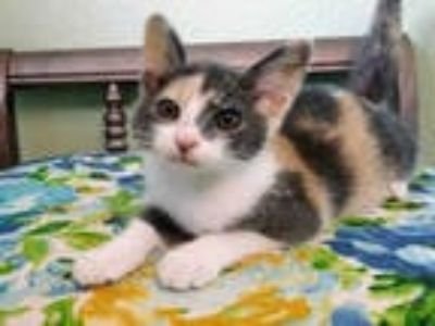 Adopt *JOY a Calico or Dilute Calico Domestic Shorthair / Mixed (short coat) cat